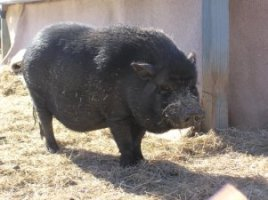 Owen, the black pig